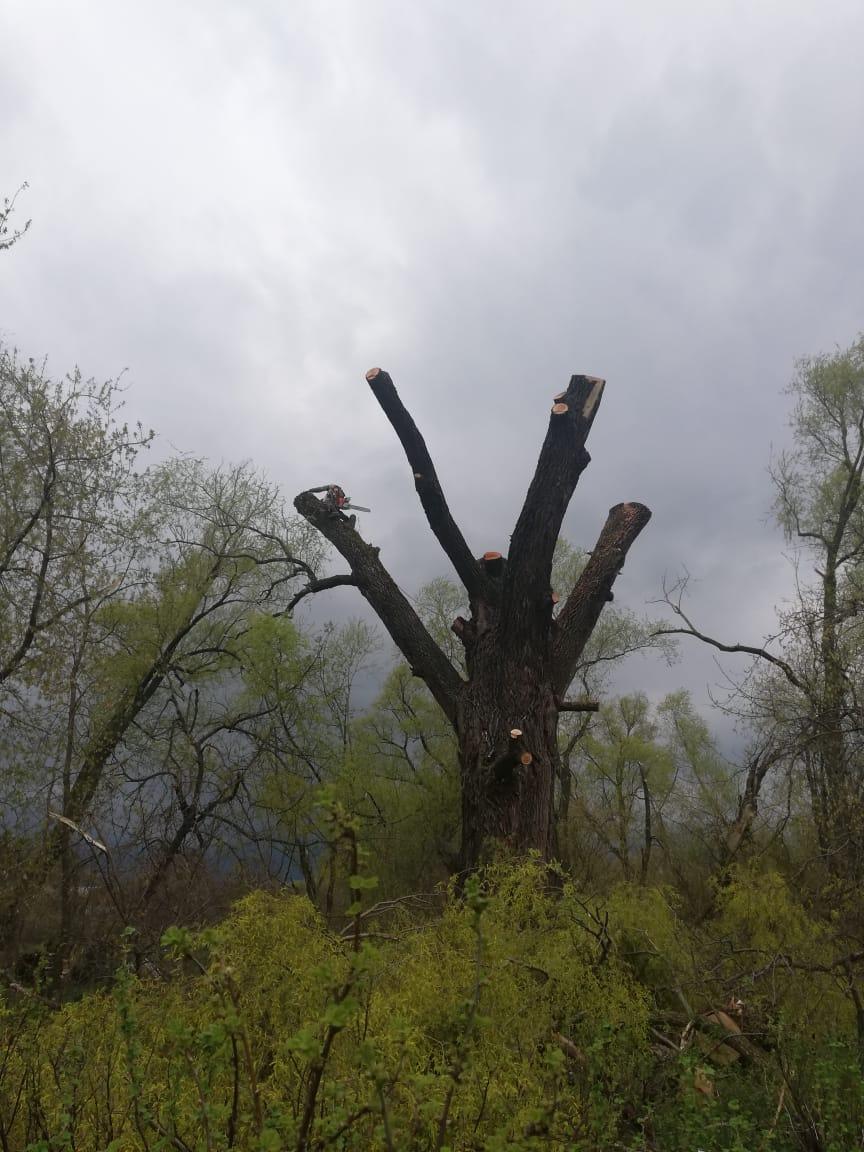 Омолаживающая обрезка деревьев